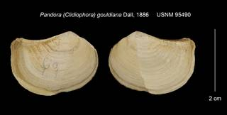 To NMNH Extant Collection (Pandora (Clidiophora) gouldiana USNM 95490)