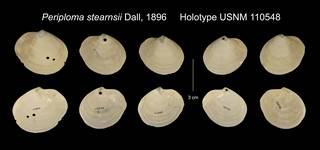 To NMNH Extant Collection (Periploma stearnsii Holotype USNM 110548)