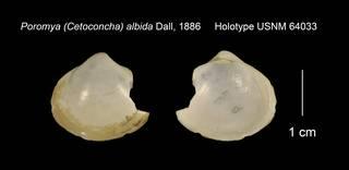 To NMNH Extant Collection (Poromya (Cetoconcha) albida Holotype USNM 64033)