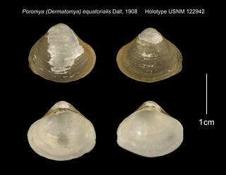 To NMNH Extant Collection (Poromya (Dermatomya) equatorialis Holotype USNM 122942)
