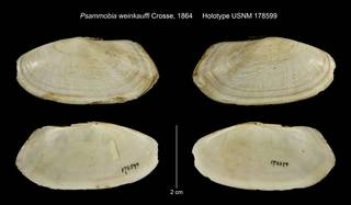 To NMNH Extant Collection (Psammobia weinkauffi Holotype USNM 178599)