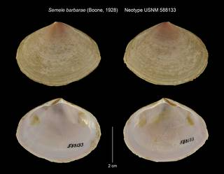 To NMNH Extant Collection (Semele barbarae Neotype USNM 588133)