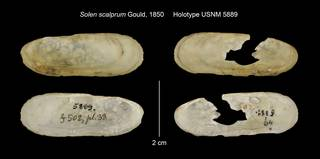 To NMNH Extant Collection (Solen scalprum Holotype USNM 5889)