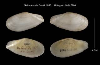 To NMNH Extant Collection (Tellina exculta Holotype USNM 5904)