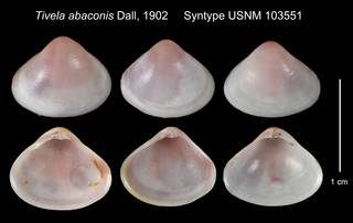 To NMNH Extant Collection (Tivela abaconis Syntype USNM 103551)