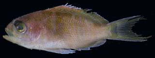 To NMNH Extant Collection (Pronotogrammus martinicensis USNM 406146 photograph lateral view)