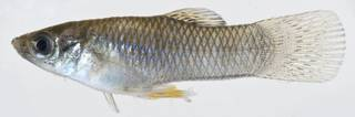 To NMNH Extant Collection (Poecilia USNM 406153 photograph lateral view)