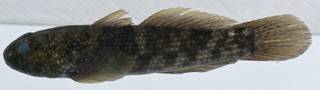 To NMNH Extant Collection (Bathygobius lacertus USNM 406155 photograph lateral view)