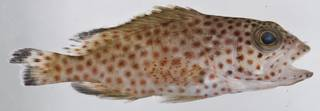 To NMNH Extant Collection (Epinephelus guttatus USNM 406349 photograph lateral view)