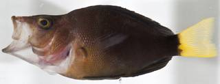 To NMNH Extant Collection (Hypoplectrus chlorurus USNM 406355 photograph lateral view)
