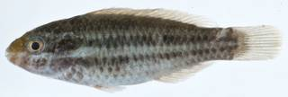 To NMNH Extant Collection (Scarus iseri USNM 406367 photograph lateral view)