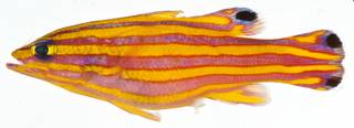 To NMNH Extant Collection (Liopropoma carmabi USNM 406374 photograph lateral view)