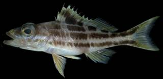 To NMNH Extant Collection (Serranus luciopercanus USNM 406395 photograph lateral view)