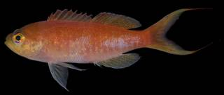 To NMNH Extant Collection (Anthias tenuis USNM 406397 photograph lateral view)