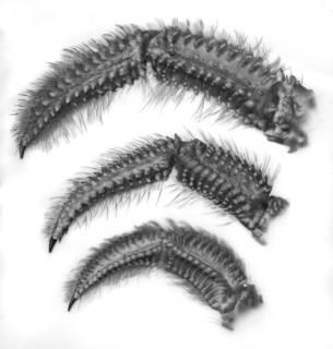 To NMNH Extant Collection (IZ USNM 221946, 252253, uncatalog Dardanus)