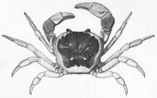 To NMNH Extant Collection (Gecarcinus lateralis USNM 126936)