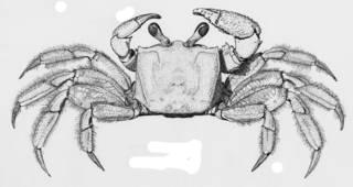 To NMNH Extant Collection (Ocypode quadrata USNM 126945)