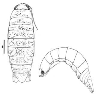 To NMNH Extant Collection (IZ Cirolana mimulus)