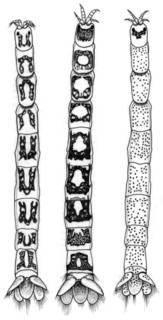 To NMNH Extant Collection (IZ Mesanthura protei)