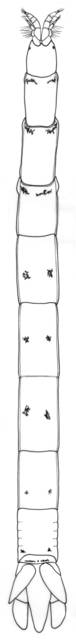 To NMNH Extant Collection (IZ Quantanthura andamanensis)
