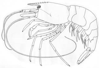 To NMNH Extant Collection (IZ Alvinocaris lusca USNM 184534)