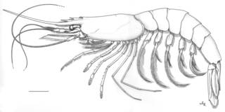 To NMNH Extant Collection (IZ Austropenaeus nitidus)
