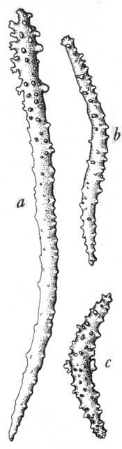 To NMNH Extant Collection (Acanthogorgia paradoxa; USNM 30035)