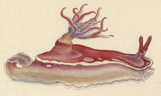 To NMNH Extant Collection (Chromodoris)