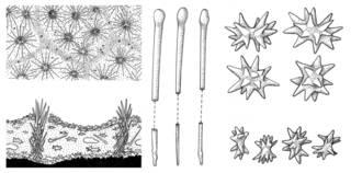 To NMNH Extant Collection (Diplastrella ornata, Diplastrella bistellata ; USNM 1149580, uncatalog)