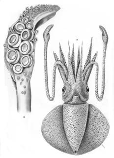 To NMNH Extant Collection (Discoteuthis discus; USNM 576214)