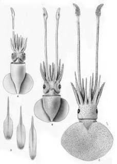 To NMNH Extant Collection (Discoteuthis discus; USNM 576214, uncatalog)