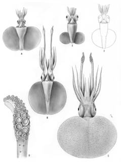 To NMNH Extant Collection (Discoteuthis laciniosa, Discoteuthis sp.; USNM 576214, USNM 727515, uncatalog)