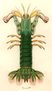 To NMNH Extant Collection (Gonodactylaceus ternatensis)