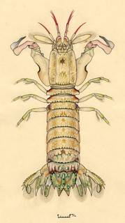 To NMNH Extant Collection (Gonodactylus platysoma)