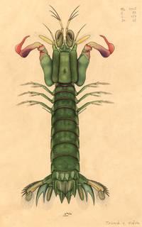 To NMNH Extant Collection (Gonodactylus smithii)