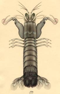 To NMNH Extant Collection (Haptosquilla glyptocercus)
