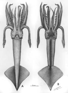 To NMNH Extant Collection (Illex oxygonius; USNM 577000)