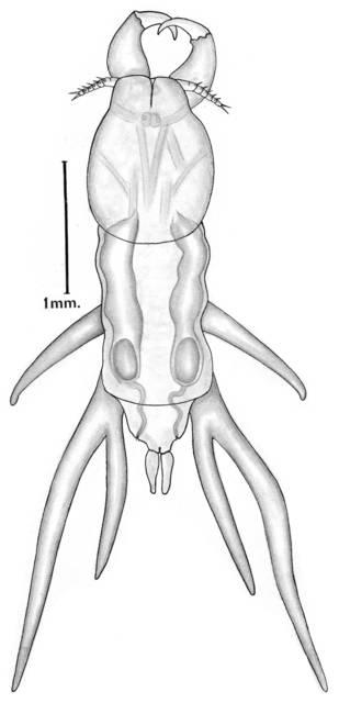 To NMNH Extant Collection (Lernanthropus frondeus; USNM 42287)