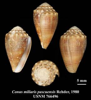 To NMNH Extant Collection (IZ MOL USNM 766496 Conus miliaris pascensis Rehder, 1980 plate)