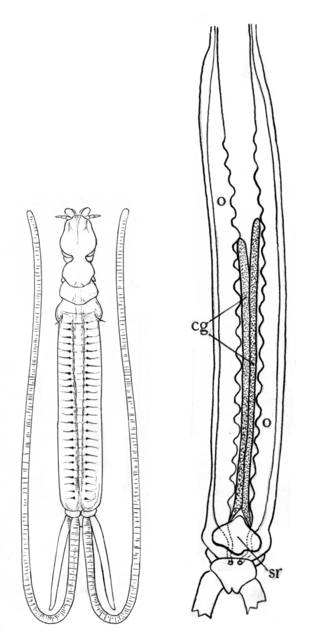 To NMNH Extant Collection (Pseudocycnus appendiculatus; USNM 12663)