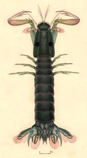 To NMNH Extant Collection (Raoulserenea ornata)