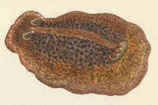 To NMNH Extant Collection (Atagema intecta)