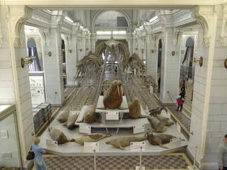 To NMNH Extant Collection (MMP STR 7772 Balaenoptera musculus mounted skeleton in St. Petersburg)