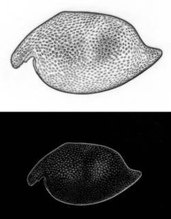 To NMNH Extant Collection (Angulorostrum segonzaci MNHN Os 12)