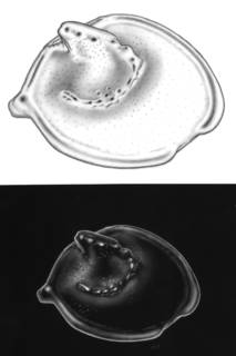 To NMNH Extant Collection (Eusarsiella spadix ZMH K-37965)