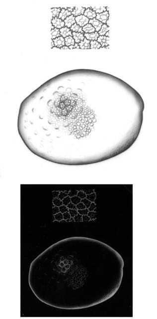 To NMNH Extant Collection (IZ USNM 158028 Pleoschisma moroides)