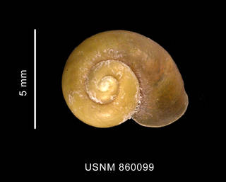 To NMNH Extant Collection (Laevilitorina labioflecta Dell, 1990, holotype, shell, apical view)