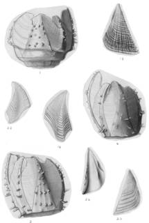 To NMNH Extant Collection (Acasta cyathus USNM 7842, 51798)