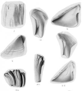 To NMNH Extant Collection (Balanus crenatus curviscutum USNM 32948, 48037)