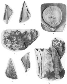 To NMNH Extant Collection (Balanus hameri USNM 9044, 48049, 9163)